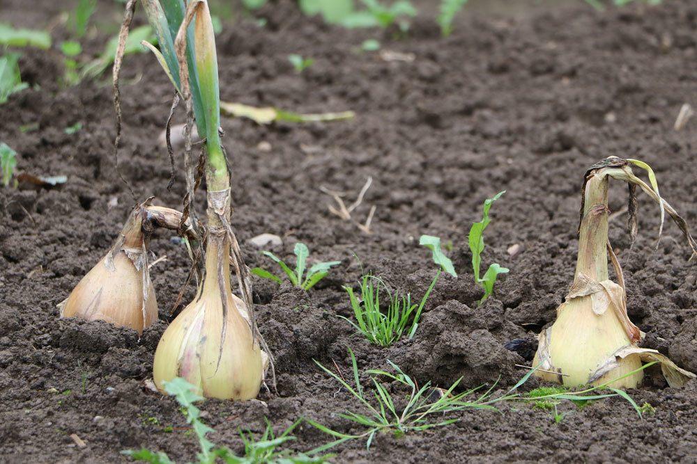 frische Zwiebeln aus dem eigenen Garten