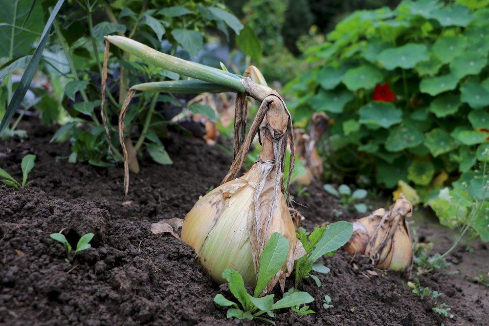 Steckzwiebel im Gemüsebeet