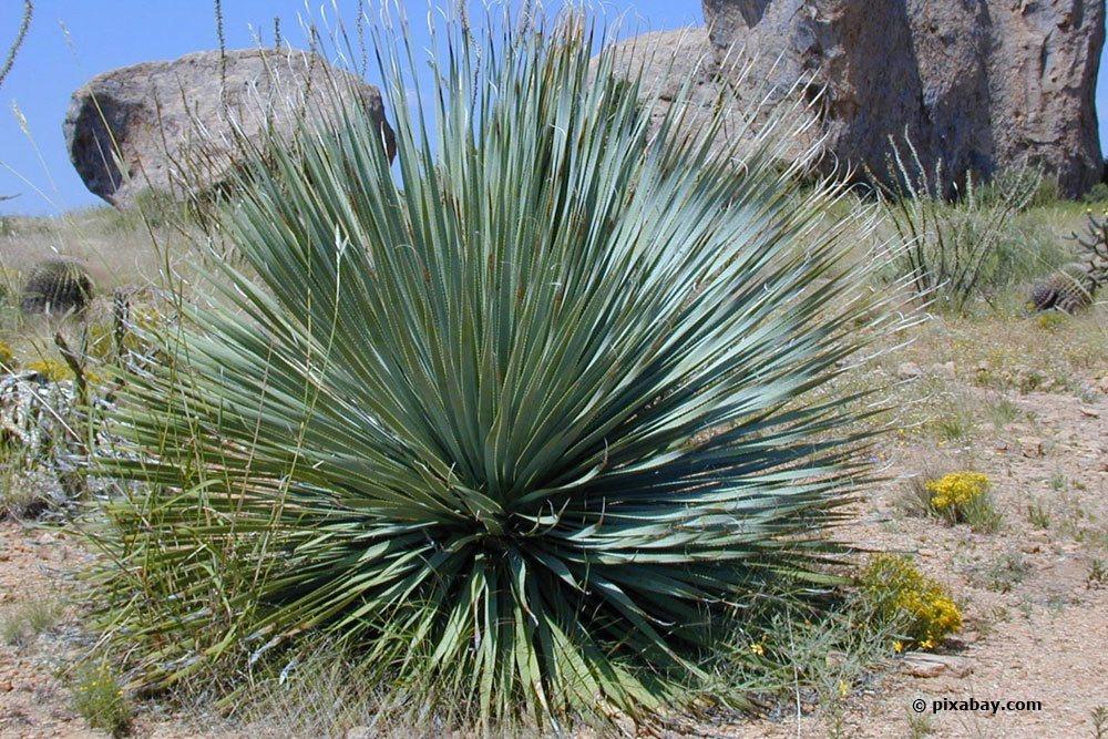 Blaublättrige Yucca, Yucca rostrata