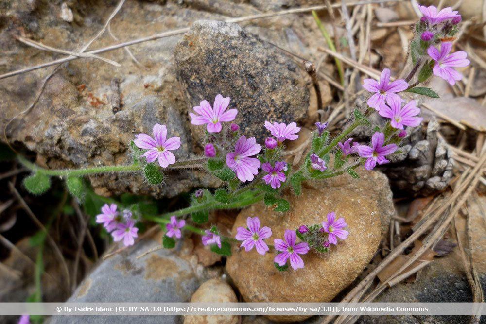 Alpenbalsam, Erinus alpinus