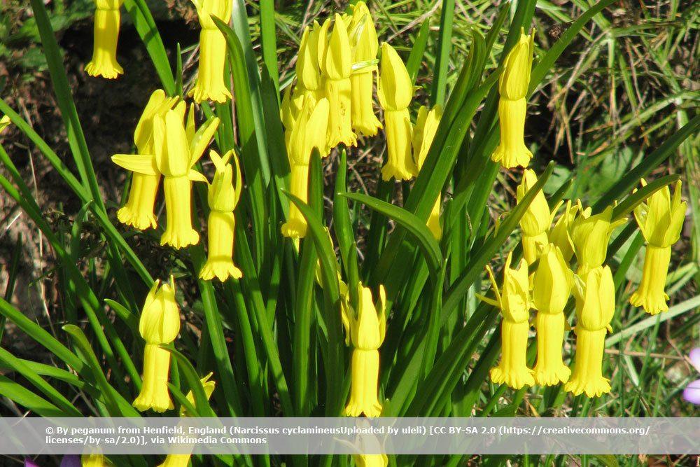 Alpenveilchen-Narzisse, Narcissus cyclamineus