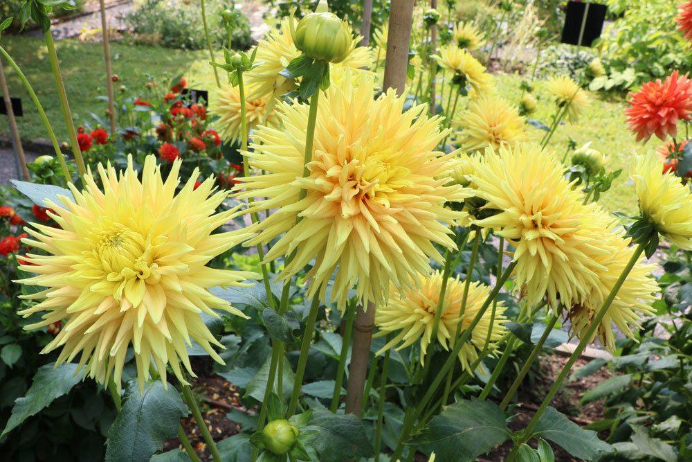 Dahlien mit gelber Blütenfarbe