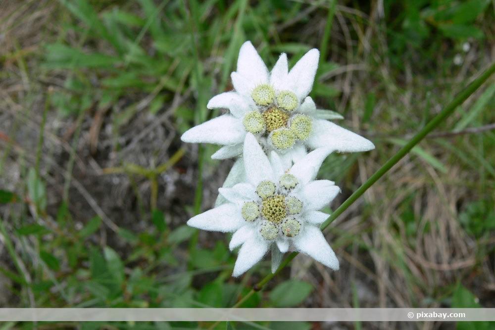 Edelweiß, Leontopodium alpinum