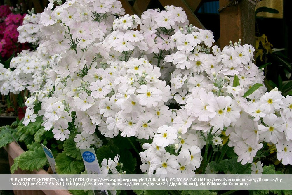 Fliederprimel, Primula malacoides