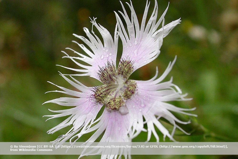 Fransennelke, Dianthus montspessulanus