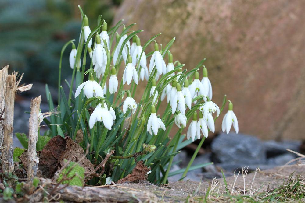 Kleine Schneeglöckchen, Gewöhnliches Schneeglöckchen, Galanthus nivalis