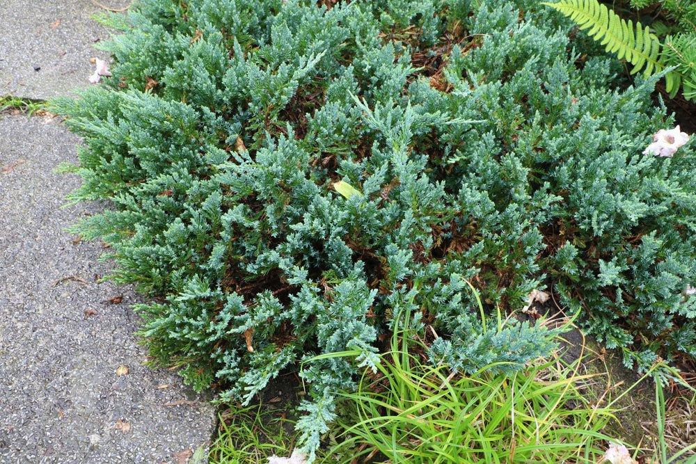 Kriech-Wacholder, Juniperus horizontalis