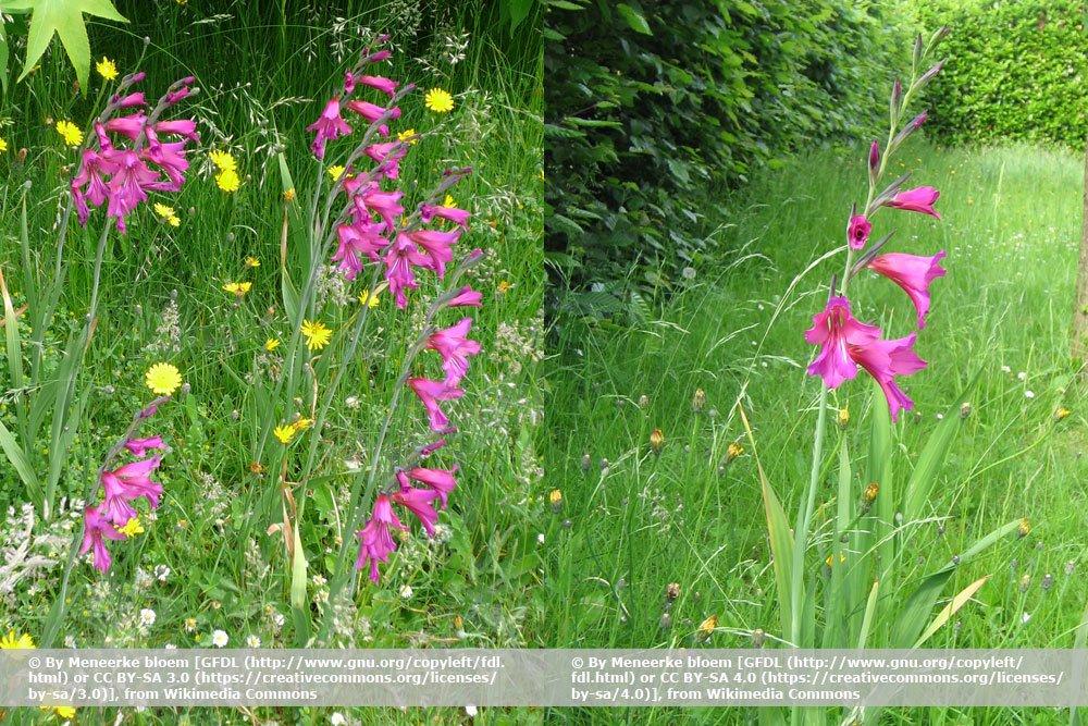 Gewöhnliche Siegwurz, Gladiolus communis