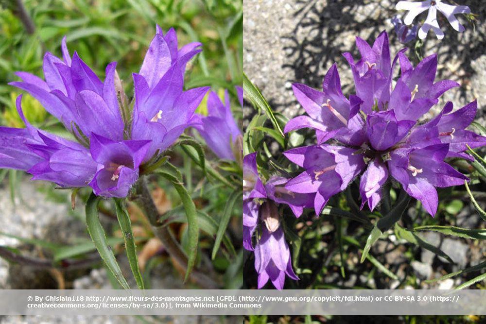 Grasartige Büschelglocke, Edraianthus graminifolius
