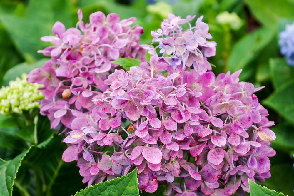 Hortensie mit prachtvollem Blütenstand in Rosatönen