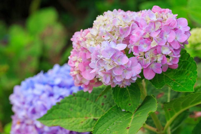 Hortensie mit rosa Blütenfarbe