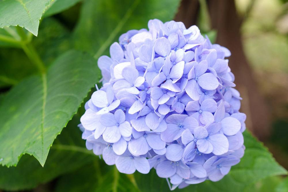 Hortensie mit hellblauer Blütenfarbe