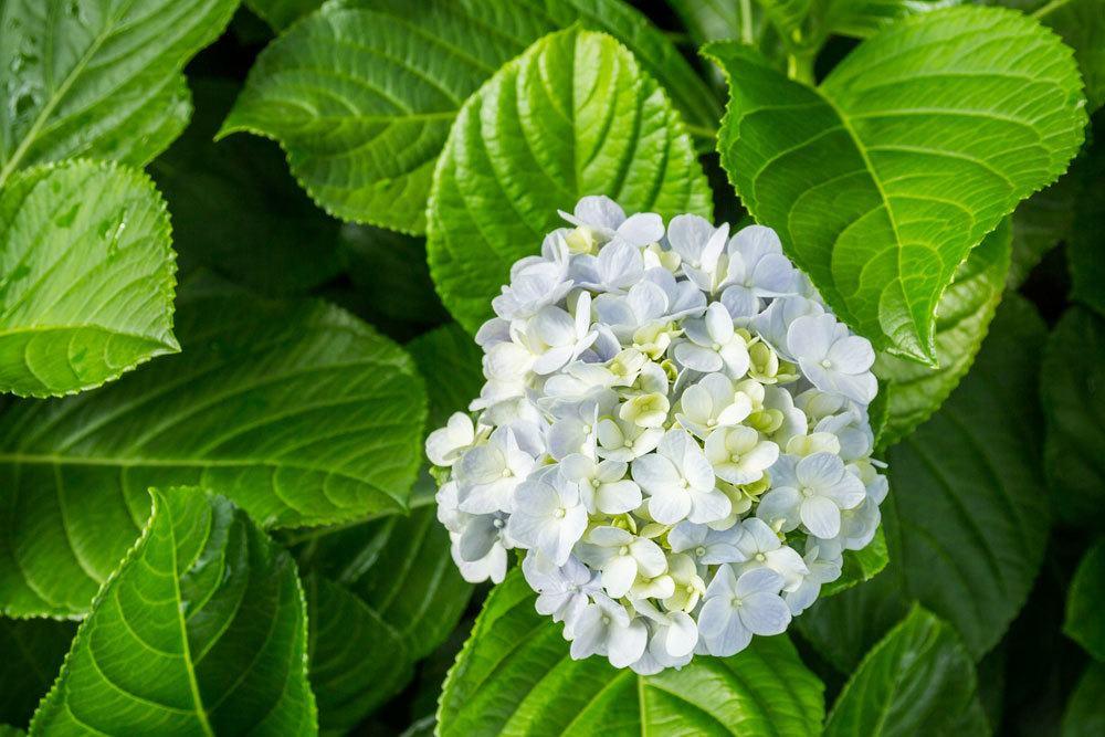 Hortensie mit weißlicher Blüte