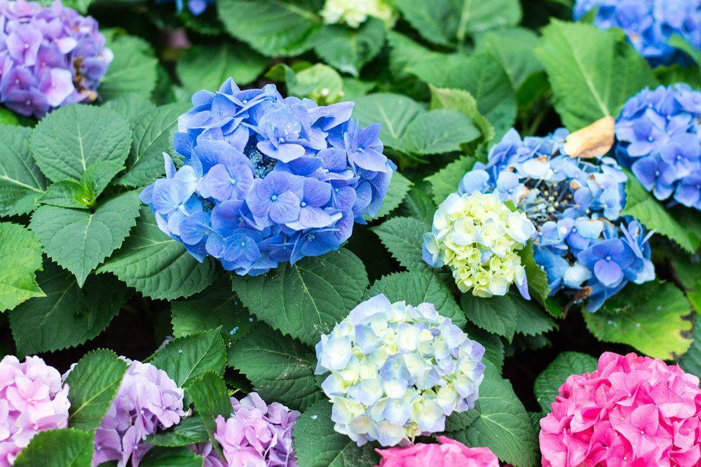 farbenfrohe Hortensien im Garten