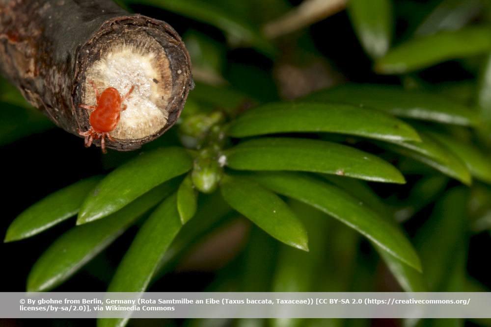 Rote Samtmilbe, Trombidium holosericeum