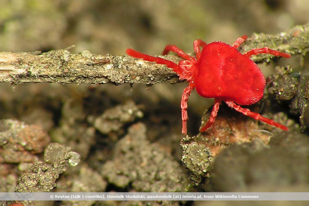 Kleine Rote Spinnen An Pflanzen Rote Samtmilbe Richtig Bekämpfen