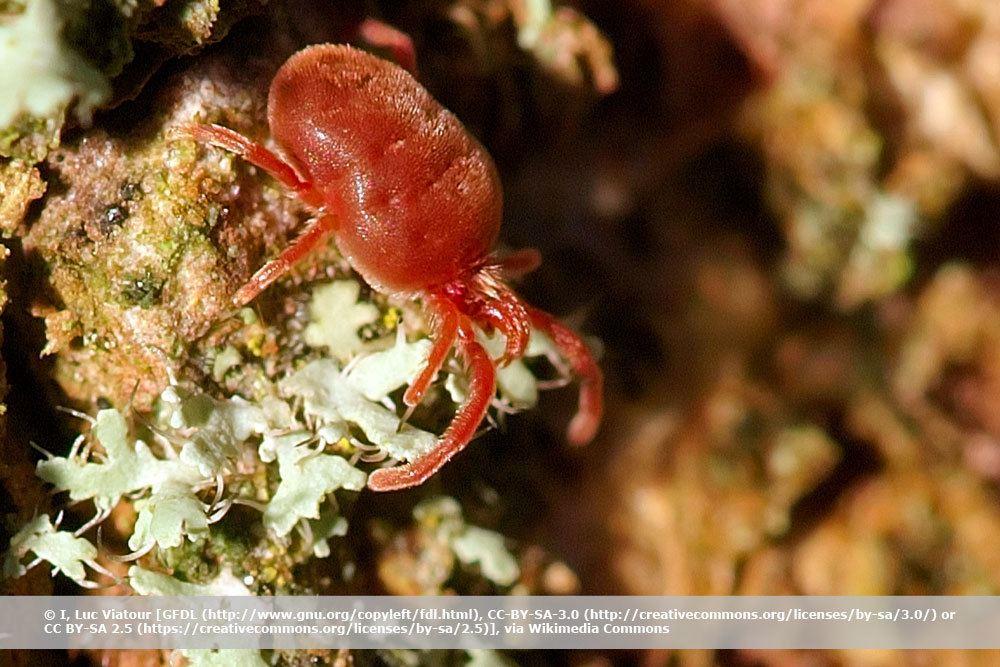 Rote Spinne, Rote Samtmilbe