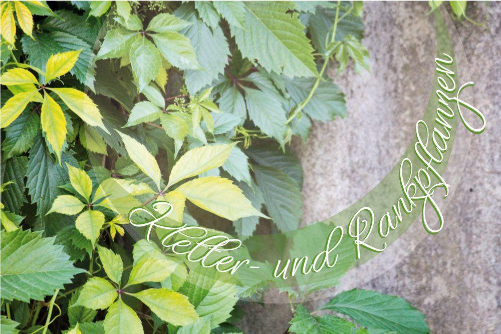 Kletter- und Rankpflanzen