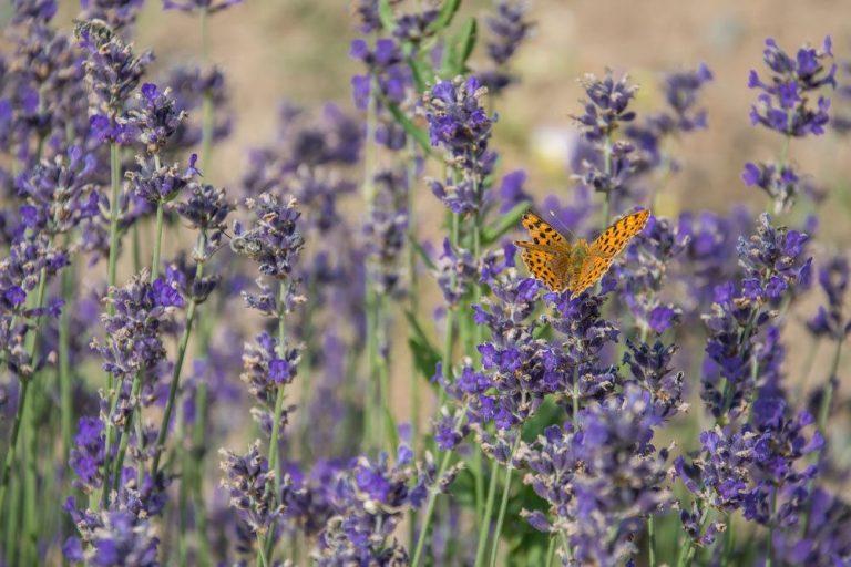 Lavendel im Gartenbeet