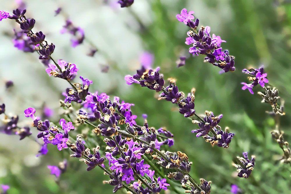 Lavendel mit seinen lila Blüten