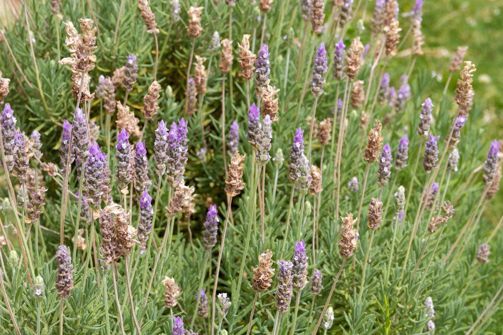 Blühender Lavendel im Gartenbeet