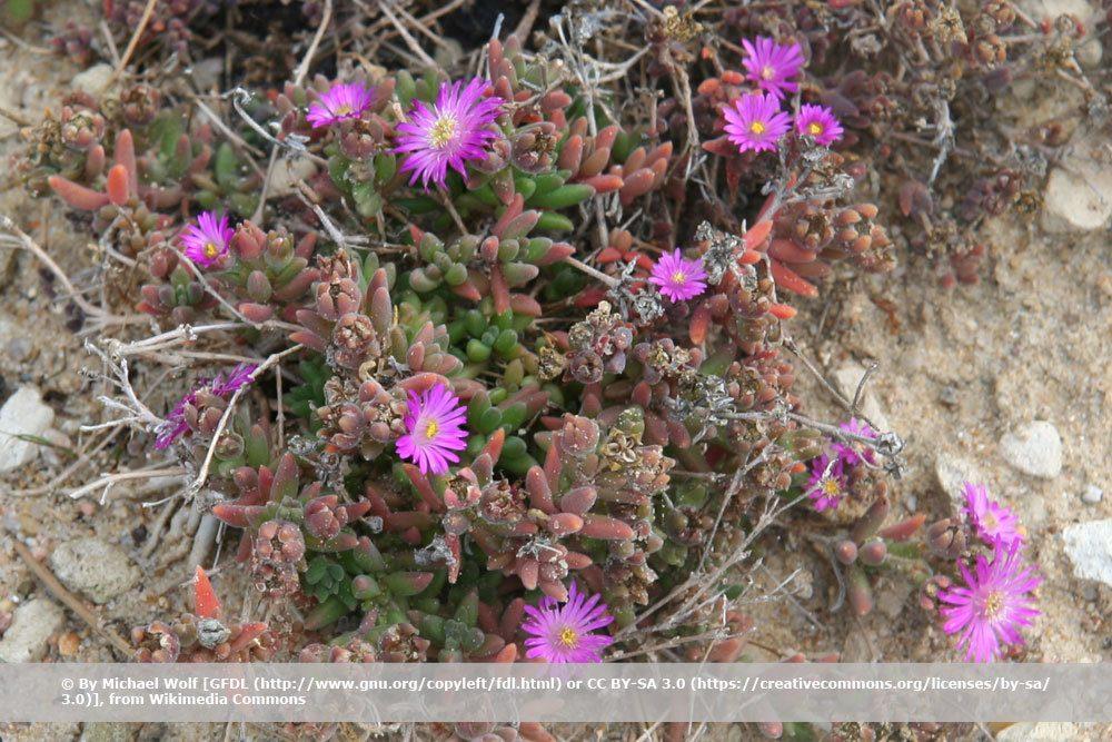 Mittagsblume, Delosperma aberdeenense
