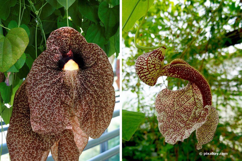 Pfeifenblume, Aristolochia