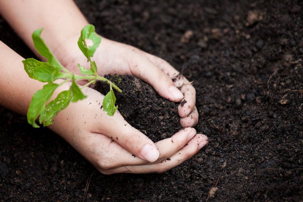Pflanze in frisches Substrat einsetzen