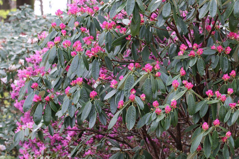 Rhododendron argyrophyllum ist eine kalkempfindliche Pflanze