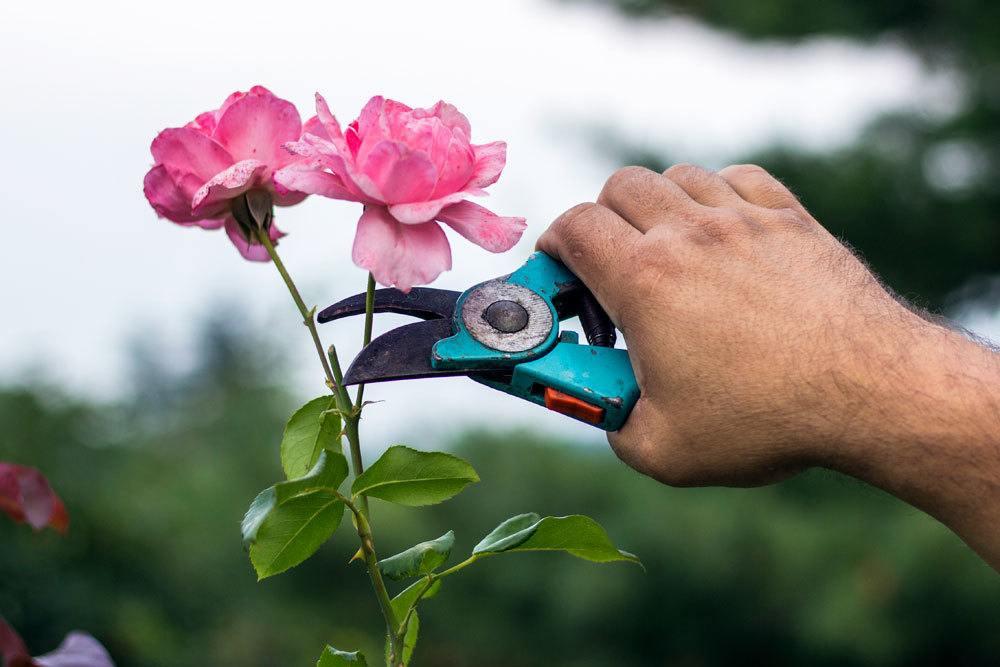 Rosen kürzen
