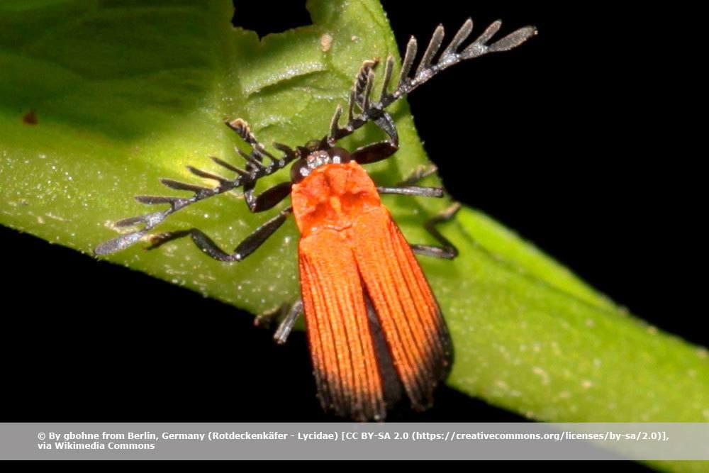 Rotdeckenkäfer, Lycidae