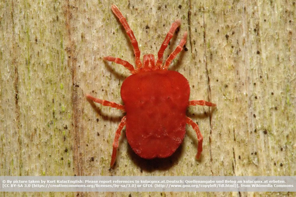 Rote Spinne, auch Obstbaumspinnmilbe genannt