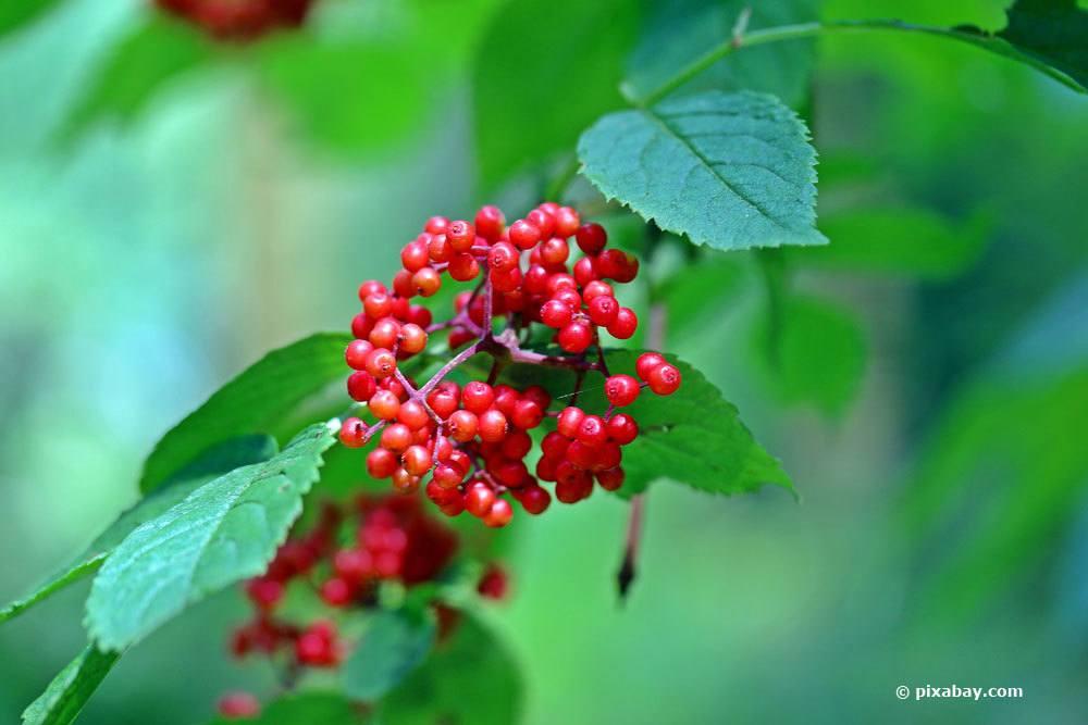 Roter Holunder