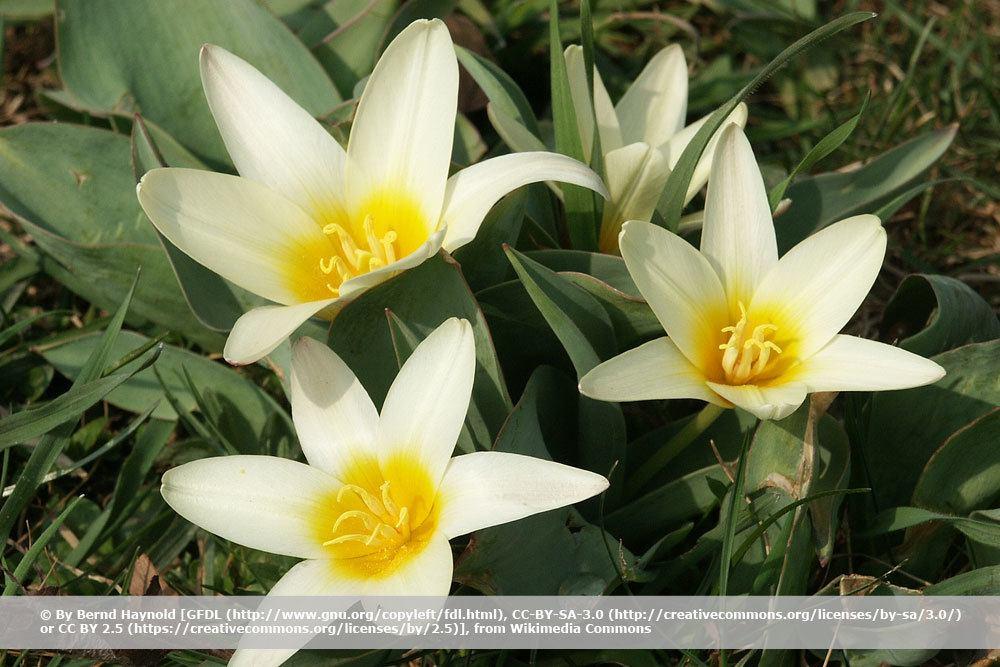 Seerosen-Tulpe, Tulipa kaufmanniana