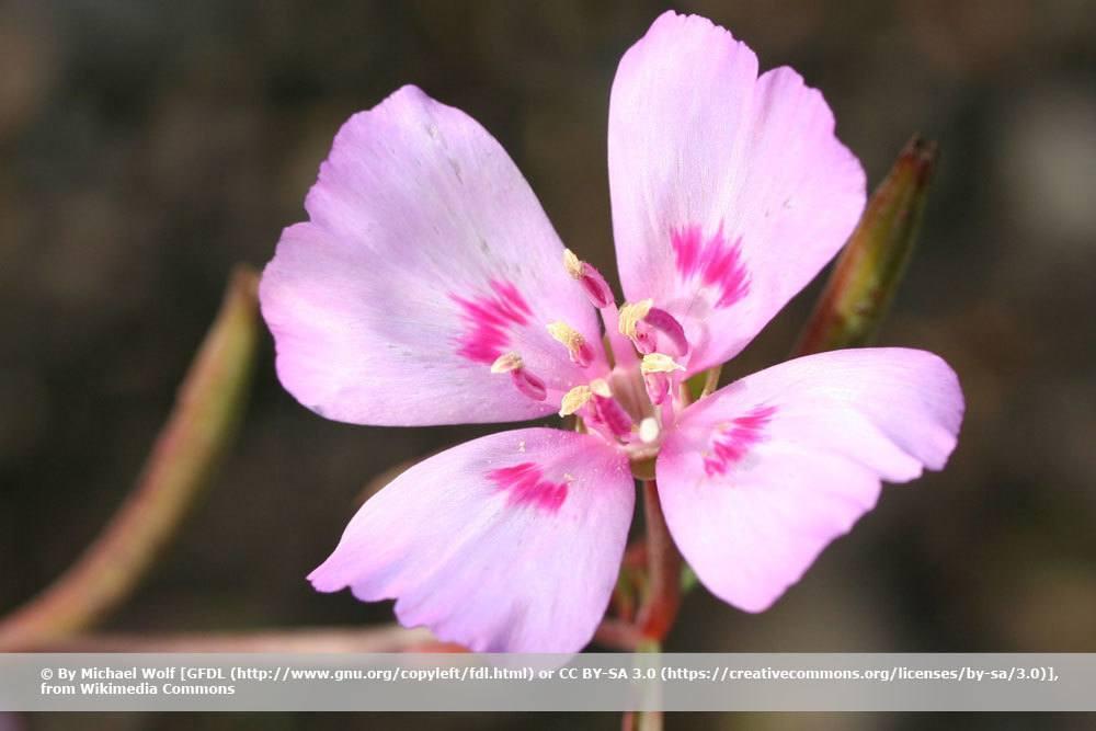 Sommerazalee, Clarkia amoena