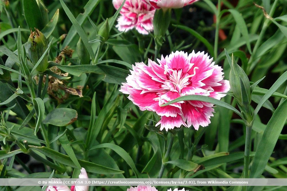 Sommernelken, Dianthus chinensis