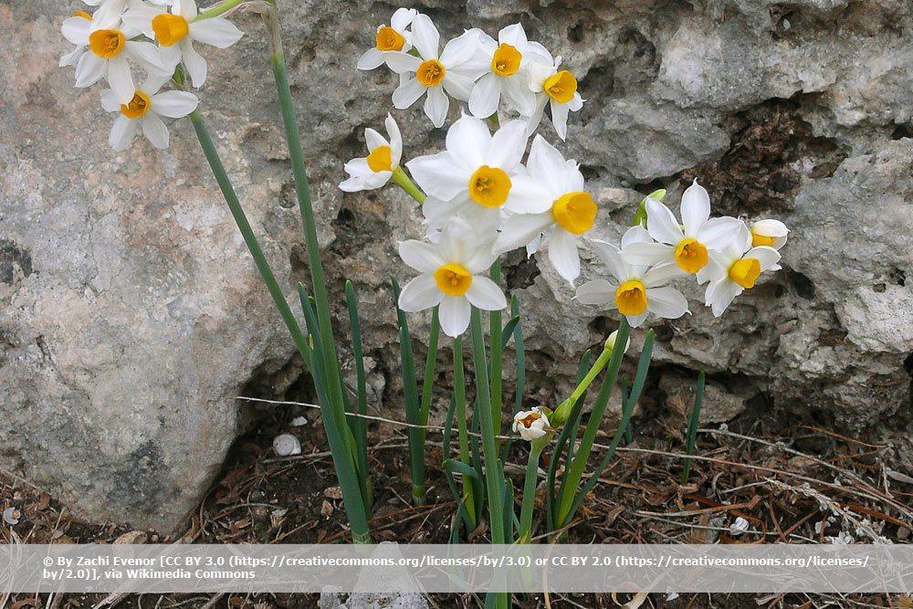 Strauß-Narzisse, Narcissus tazetta