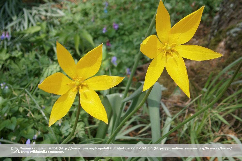 Weinbergtulpe, Tulipa sylvestris