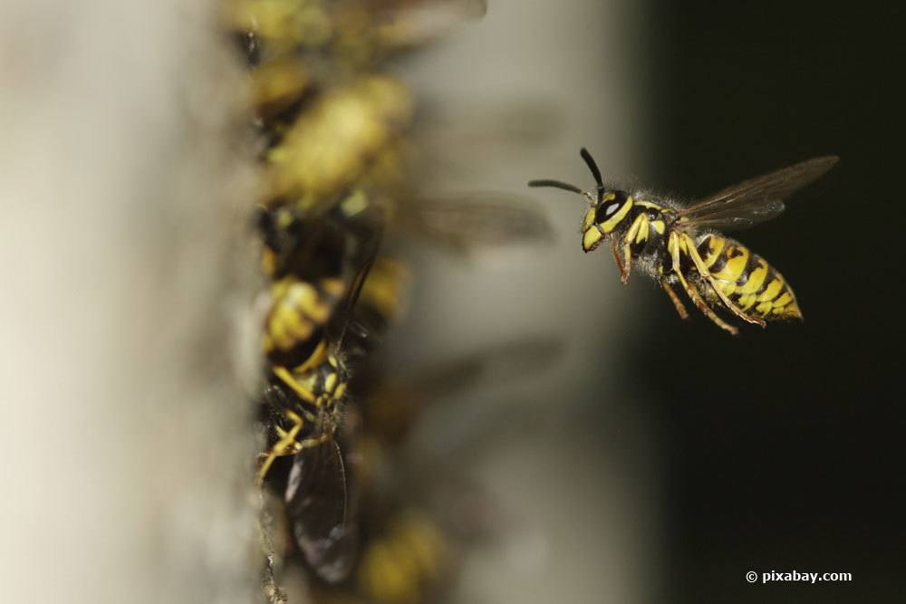Wespenkolonie an einem Nest
