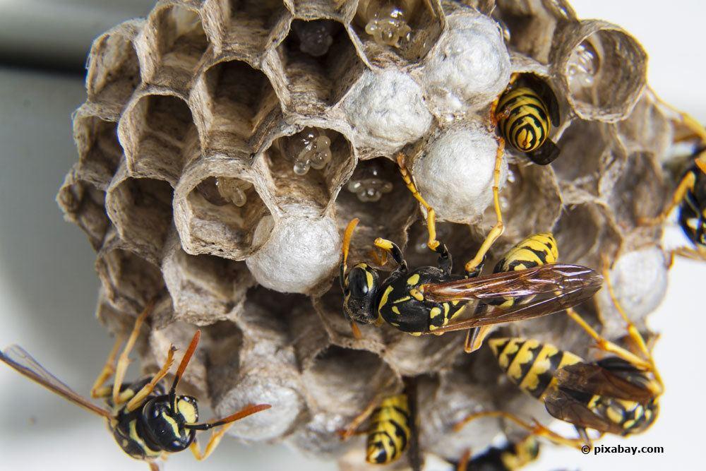 Wespen bauen an einem Wespennest