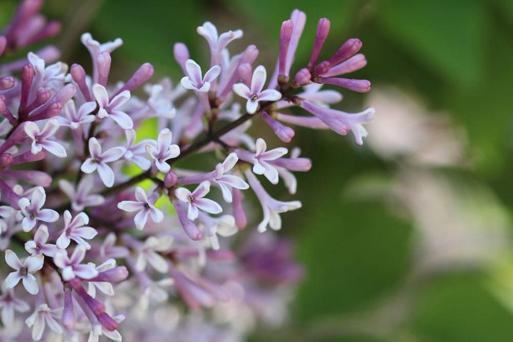 Zwergflieder auch als Balkonpflanze geeignet