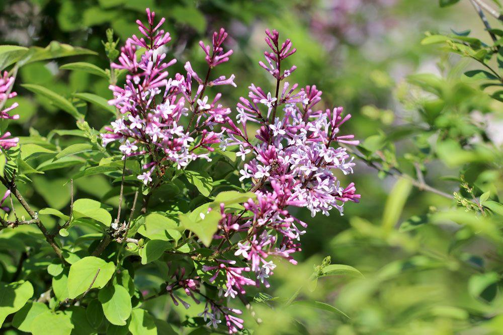 Zwergflieder mit vielen kleinen Blüten