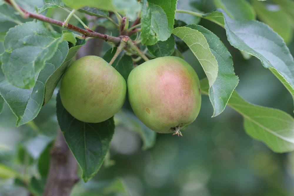 unreife Apfelfrüchte