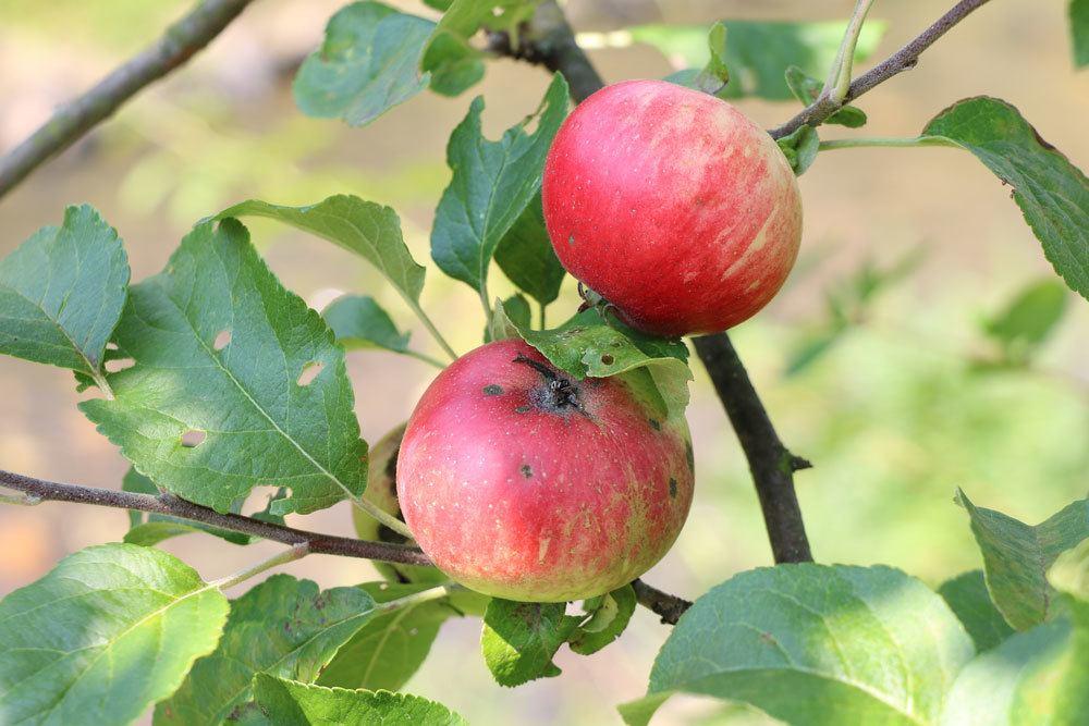 rote, erntreife Äpfel