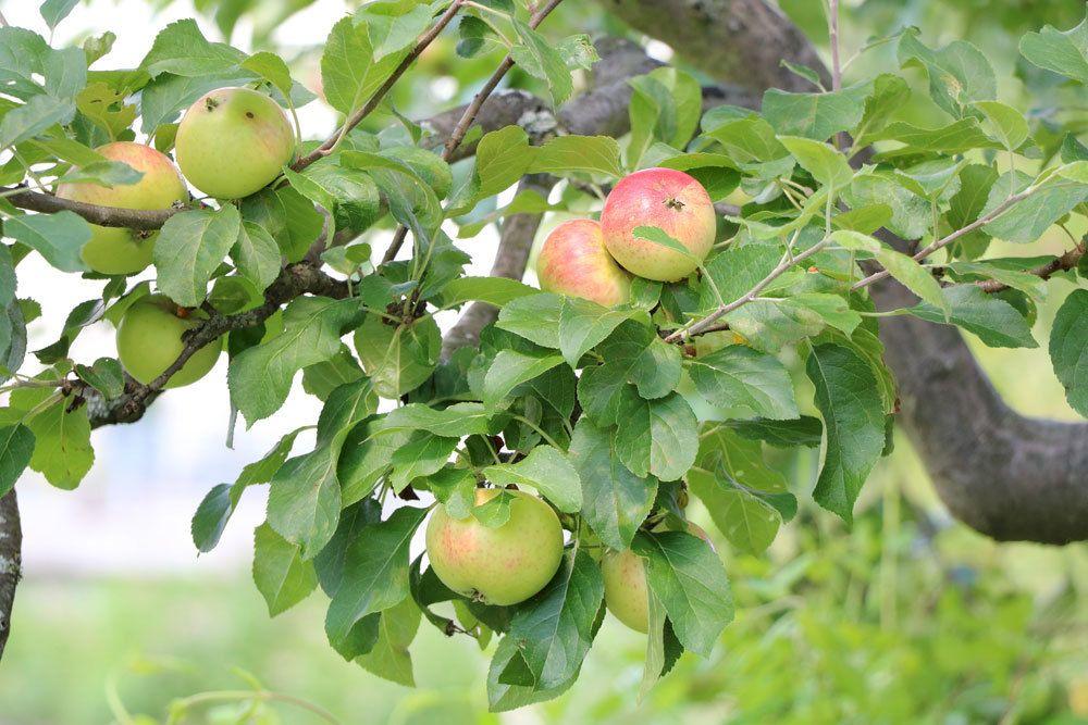 reife Äpfel ernten