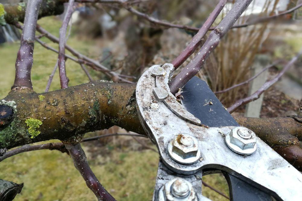 Astschere zum Baumschnitt verwenden