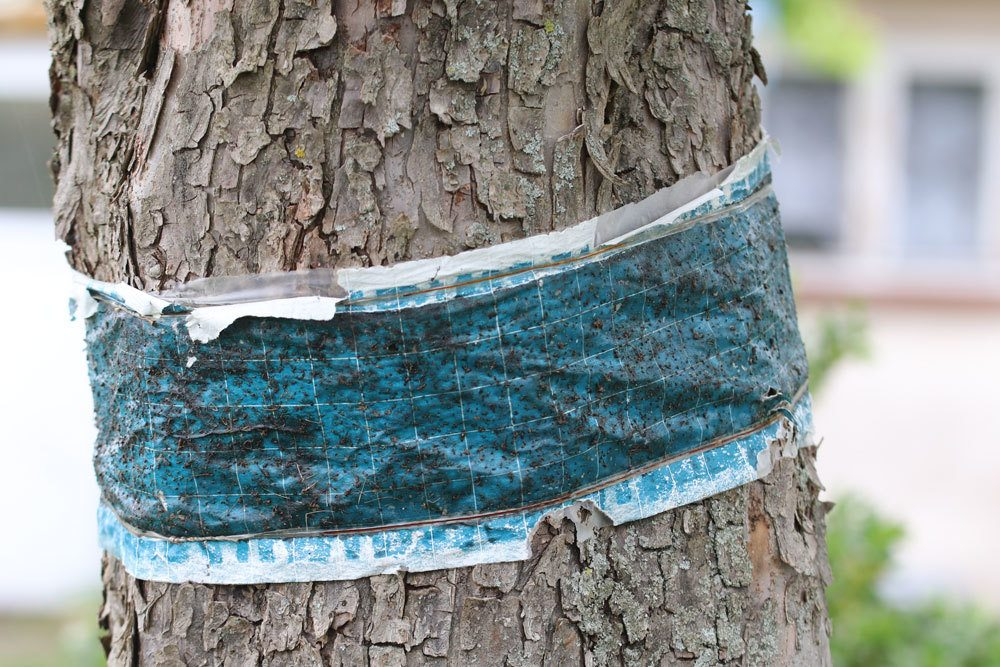Obstbaum-Leimring oder doppelseitiges Klebeband