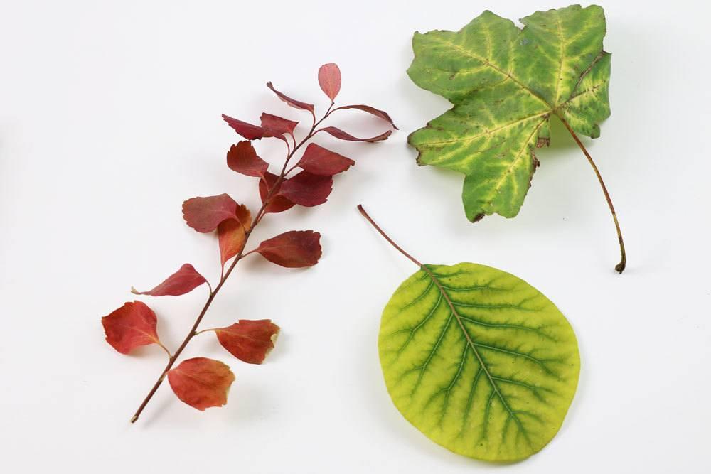 Blätter Trocknen So Erhalten Sie Beim Pressen Die Farbe