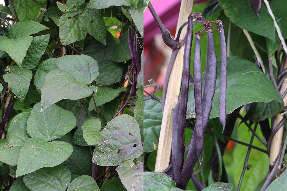 Stangenbohnen, Phaseolus, Blauhilde