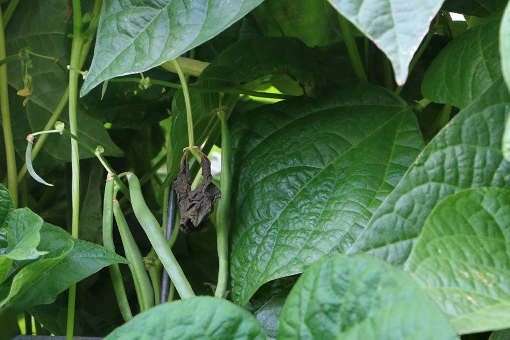 Gartenbohne, Phaseolus vulgaris